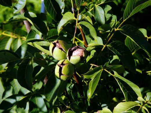 tree_nut_juglans_regia_walnut_walnut_on_tree_walnut_shell_with_wallace_walnut-853139.jpg!d